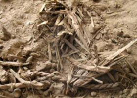 Barley seeds of Ancient History